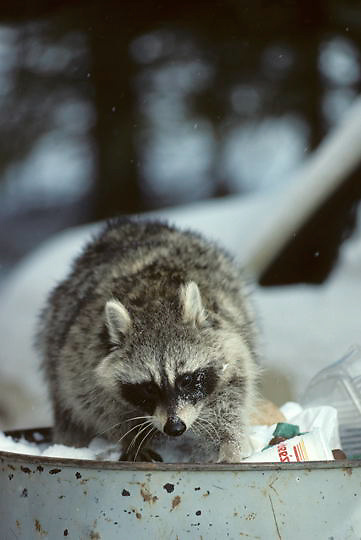Raccoon, (Procyon lotor) Scavenging in urban garbage can for food. Winter.  Captive Animal.