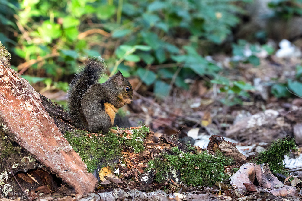 A Douglas Squirrel (Tamiasciurus douglasii) eating tree seeds on the forest floor at Richmond Nature Park in Richmond, British Columbia, Canada