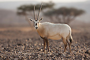 A Arabian Oryx (Oryx leucoryx). The Arabian oryx is a large white antelope, Almost totally extinct in the wild several groups have since been reintroduced to the wild. Photographed in Israel, Aravah desert,