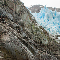 Blue-eyed shags nesting on cliffs beside a glacier icefall flowing into Seno Chico, a small fjord in Alberto de Agostini National Park, Tierra del Fuego, Chile.