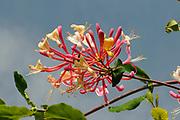 Wild Honeysuckle (Lonicera sp.) flower, Oxfordshire, UK