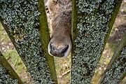 APELDOORN, 09-06-2021 , Kroondomein Het Loo<br /> <br /> Kroondomein Het Loo is een landgoed op de Veluwe, in de Nederlandse provincie Gelderland. Het is het grootste landgoed van Nederland en omvat ongeveer 10.400 hectare.<br /> <br /> Op de foto:  Hertenkamp