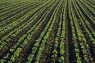 Agricultural crop plants in rows at sunrise along Refugio Road, near Santa Ynez, Santa Barbara County, California