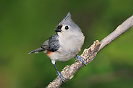 A Small Bird, The Tufted Titmouse Posing Nicely, Parus bicolor