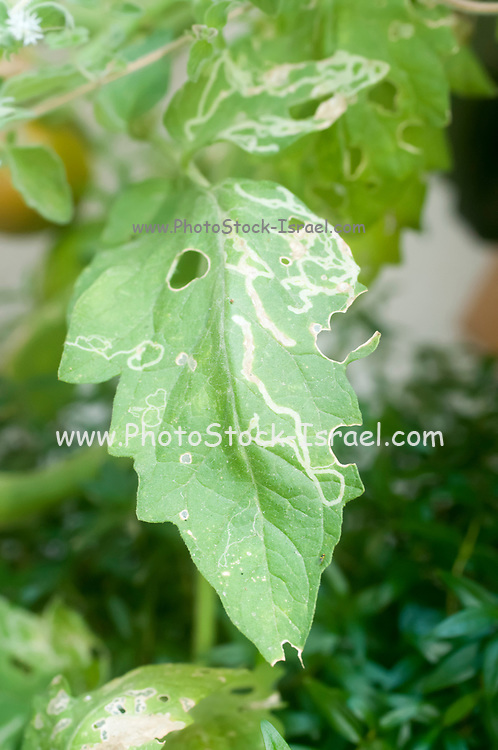Vegetable leafminer larval damage (Liriomyza sativae) to a tomato leaf (Solanum lycopersicum). The pale tracks in the bean leaf are the tunnels made by the larvae of the vegetable leaf miner (Liriomyza sativae). Leaf miner larvae cause great damage to plants and are difficult to control as they are protected from insecticide sprays by feeding within the inner tissues of the leaves. One solution is to plant their most preferred plants nearby, a method known as companion planting, so that the leaf miners are drawn to those plants rather than the crop