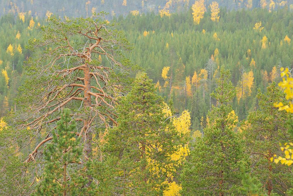 Siberian forest, Oulanka, Finland.