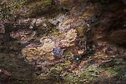 Crust fungi Phlebia centrifuga growing on deadwood, forests around River Amata, near Skujene, Latvia Ⓒ Davis Ulands | davisulands.com