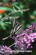 03006-001.18 Zebra Swallowtail (Eurytides marcellus) on Butterfly Bush (Buddleia davidii) Marion Co.  IL