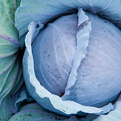Organic cabbage grows at the Harlow Farm in Westminster, Vermont.  Connecticut River Valley.