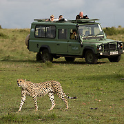 Tourists photographing Cheetah (Acinonyx jubatus) from safari vehicle. Masai Mara Game Reserve. Kenya. Africa.