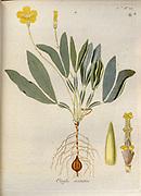 Woodsorrel (Oxalis asinina). Illustration from 'Oxalis Monographia iconibus illustrata' by Nikolaus Joseph Jacquin (1797-1798). published 1794