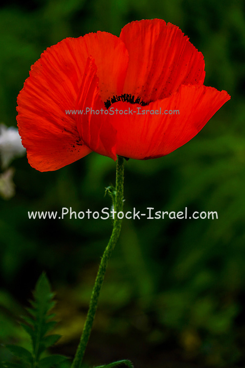 Red Poppy. Photographed in Romania in May