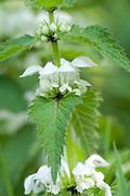 White Dead Nettle, Lamium album, Monkton Nature Reserve, Thanet Countryside Trust, Kent, UK, good nectar source for bees, lacks stinging hairs