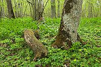 Puhtu, oak (Quercus robur), yellow (Anemone ranunculoides) and wood anemones (Anemone nemorosa), Matsalu Bay Nature Reserve, Estonia