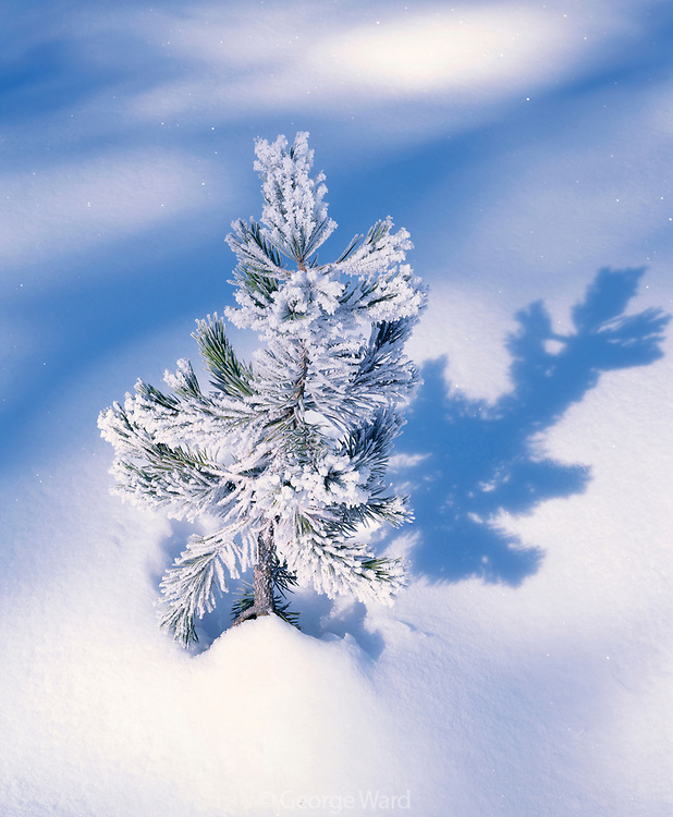 Lodgepole Pine with Frost, Yosemite National Park, California