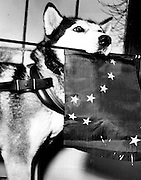 Nugget, a purebred Siberian Husky, visited Seattle and held an Alaskan flag to join in the celebration of Alaska's becoming the 49th state. (Paul Thomas / The Seattle Times, 1959)