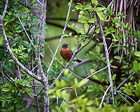 American Robin in the trees. Black Point Wildlife Drive, Merritt Island National Wildlife Refuge. Image taken with a Nikon Df camera and 300 mm f/4 lens (ISO 1100, 300 mm, f/4, 1/1250 sec).