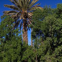 Africa, Morocco, Skoura. Palm Groves in Skoura desert.
