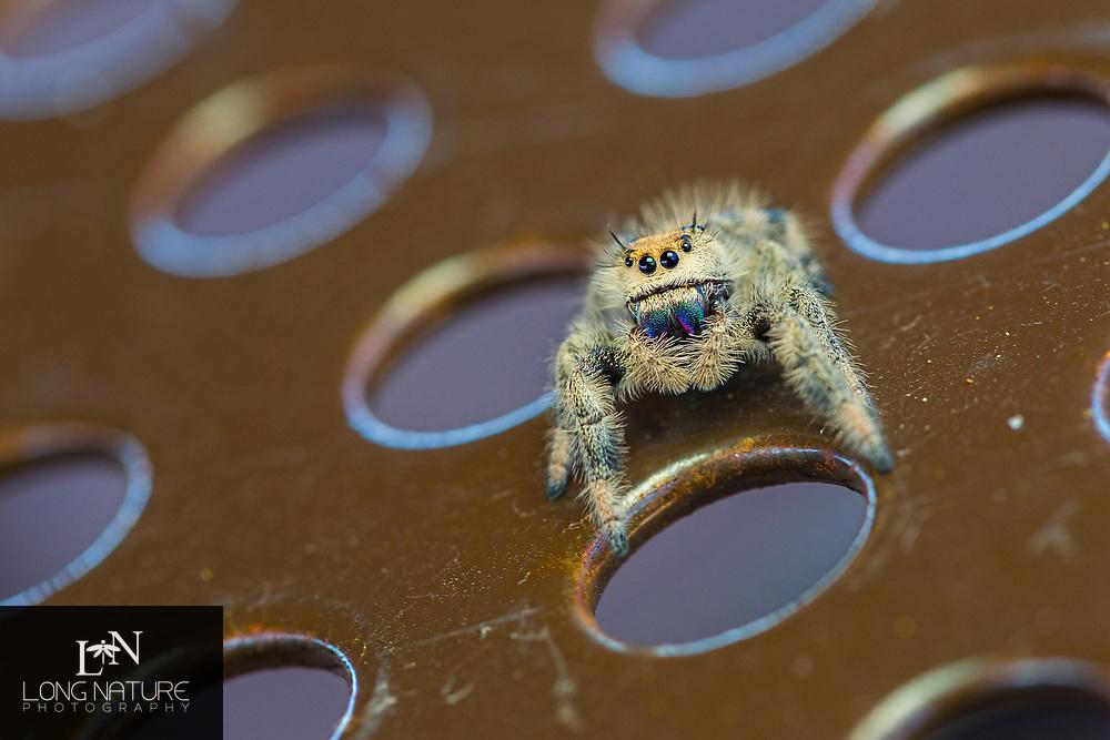 Phidippus regius - Regal Jumper, female, Photographed at Pear Park, Lake County, Florida USA.