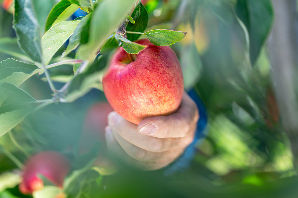 hand picking a ripe red apple in an orchard