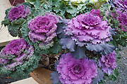 Bed of ornamental flowering cabbage plants at the Redbery book store. Cable Wisconsin WI USA