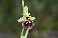 Ophrys fuciflora subsp parvimaculata - Gargano Peninsula, Italy