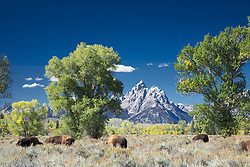 Bison, Grand Tetons, autumn, Jackson Hole Wyoming