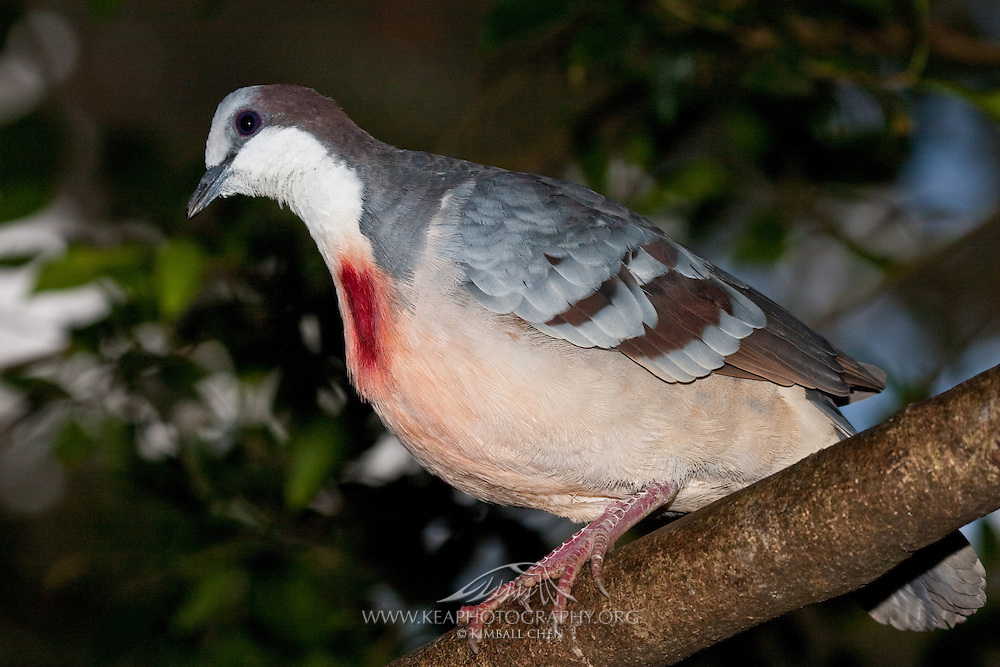 Luzon Bleeding-heart (Gallicolumba luzonica)
