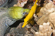 undulated moray eel or leopard moray ( Gymnothorax undulatus ) seizes sleeping yellow tang ( Zebrasoma flavescens ) while feeding at night (note teeth piercing base of dorsal fin), Keahole, Kona, Hawaii, USA ( Central Pacific Ocean )