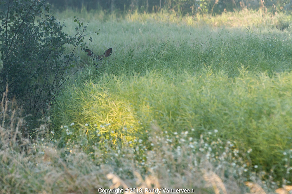 Photo Randy Vanderveen<br /> County of Grande Prairie, Alberta<br /> 2018-09-04<br /> The ears and top of a mule deer's head sticks out above a canola crop as it hunkers down and hides on a misty September morning.