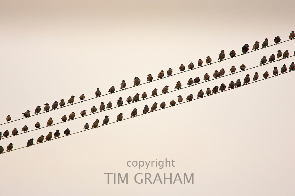 Migratory Starlings on telephone wires at Thames Estuary. Avian Flu (Bird Flu) could be brought to Britain from Europe by migrating birds.