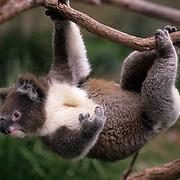 Koala, (Phascolarctos cinereus) Hanging upside down. Australia.  Captive Animal.