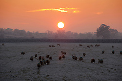 © under licence to London News Pictures 7/11/2010 Sheep shiver in a field in Highham on the Hill, Leicestershire as temperatures continue to stay below freezing. .Picture credit: Dave Warren/London News Pictures...