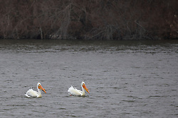 American White Pelican (Pelecanus erythrorhynchos) on Evergreen Lake in Comlara Park in McLean County Illinois