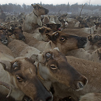 North of the Arctic Circle in Russia, reindeer crush together in panic and climb atop each other in a temporary pen as nomadic Komi reindeer herders capture some of them to pull their sleds.