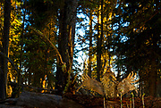 GHOST OF SPRUCE BOG |Ruffed grouse drums at sunrise in Bob Marshall Wilderness in norhern Montana, United States