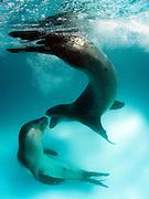 A rare image of a pair of Leopard seals interacting (Hydrurga leptonyx), Astrolabe Island, Antarctica