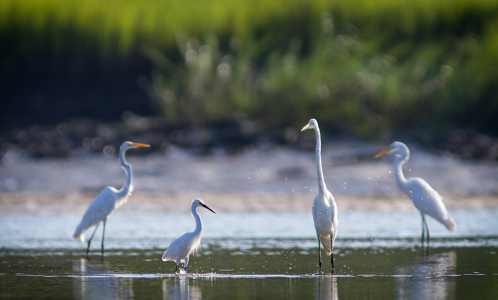 Great white egrets and snow egrets feed at low tide in the May River.