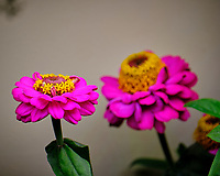 Indoor Hydroponic Zinnia Flower. Image taken with a Fuji X-T2 camera and 100-400 mm OIS lens (ISO 200, 400 mm, f/6.4, 1/180 sec).
