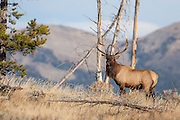 Bull elk during the rut in Wyoming on a ridge with mountains in background