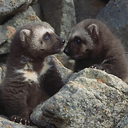 Two young wolverine kits near the entrance of their den during early spring in the Rocky Mountains of Montana. Captive Animal