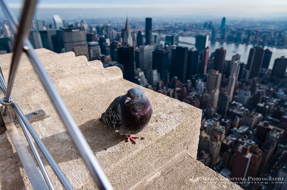 US, New York City. View from the Empire State Building observation deck. Pigeon taking a rest.