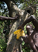 Collecting honey from a beehive. At the Hadza camp of Dedauko.