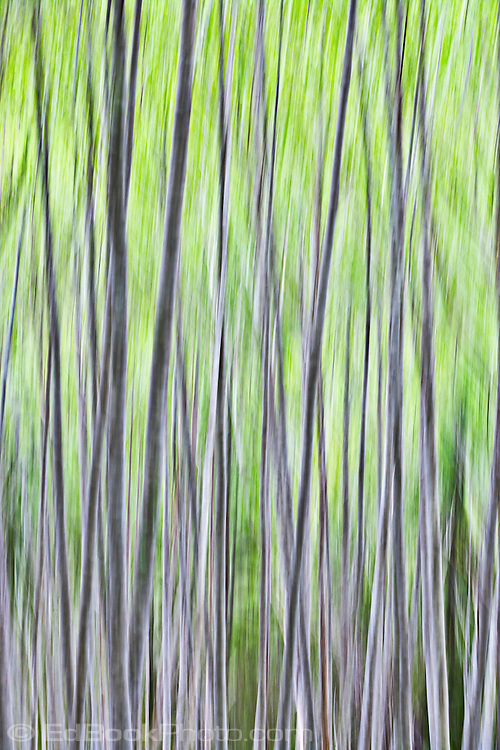 spring dance of the alder-motion abstract caused by camera motion in a red alder forest in the Olympic National Forest, S fork of the Skokomish River, Washington, USA