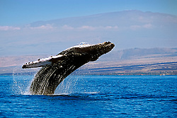 breaching humpback whale, Megaptera novaeangliae, and Mauna Kea volcanic mountain with observatories at summit, Hawaii, Pacific Ocean