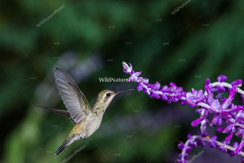 A female Broad-billed Hummingbird (Cynanthus latirostris) female, feeding on Mexican Sage (Salvia leucantha) in flight. Tucson
