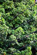 Belo Horizonte_MG, Brasil.<br /> <br /> Imagens do programa PREMIAR da CEMIG,Companhia Energetica de Minas Gerais. O Premiar e o programa que define as politicas e acoes da Cemig voltadas para o manejo da arborizacao urbana, com foco na reducao dos conflitos entre arvores e a rede eletrica.<br /> <br /> Premiar program of Cemig, Companhia Energetica de Minas Gerais. The Premiar is the program that defines the policies and actions of Cemig focused on the management of urban trees, focusing on the reduction of conflicts between trees and power grid.<br /> <br /> Foto: JOAO MARCOS ROSA / NITRO