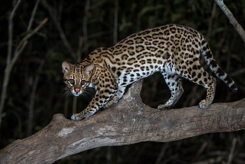 Ocelot (Leopardus pardalis)<br /> Northern Pantanal<br /> Mato Grosso<br /> Brazil