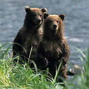 Alaskan Brown Bear, (Ursus middendorffi)  Cubs standing up looking for danger of approaching males while mother fishes. Coastal Alaska.