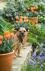 Very handsome border terrier dog amongst pots of Tulipa 'Princes Irene'